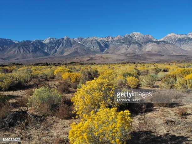 Yellow Chamisa Flowers, Eastern Sierra Nevada