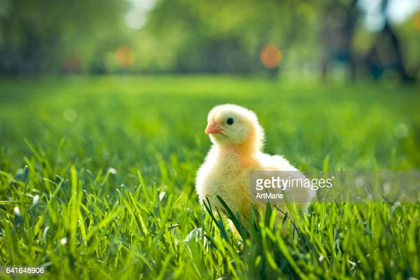 yellow chicken - man made space stock pictures, royalty-free photos & images