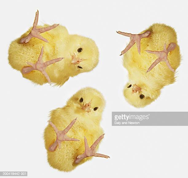 Yellow chicks (Gallus domesticus), close up, low angle