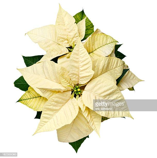 yellow christmas poinsettia - christmas star stock photos and pictures