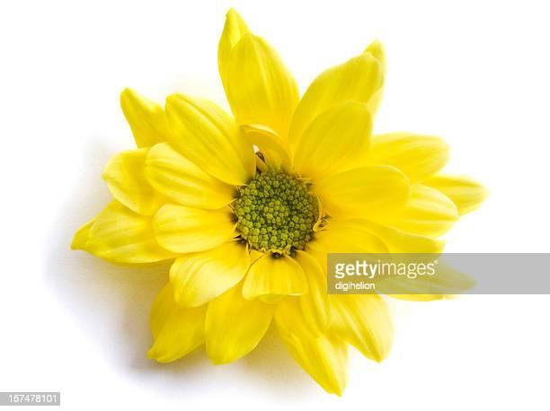 Gelbe Chrysantheme Blume auf Weiß