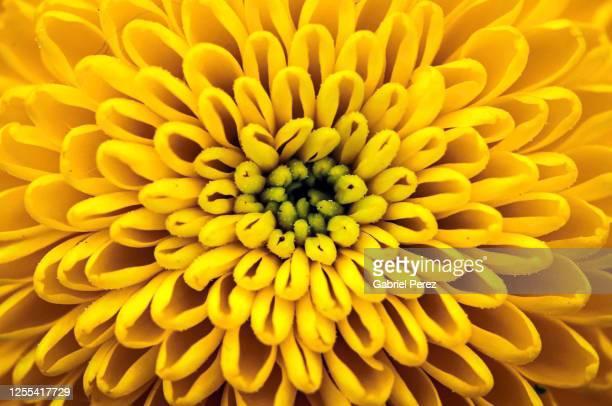 a yellow chrysanthemum - chrysanthemum stock pictures, royalty-free photos & images