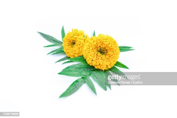 yellow chrysanthemums and leaves on white background - chrysanthemum - fotografias e filmes do acervo