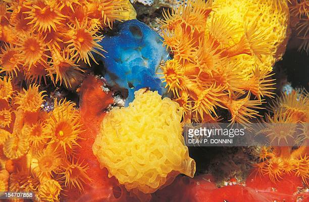 Yellow Clathrina Clathrinidae and Yellow Cluster Anemone Parazoanthidae
