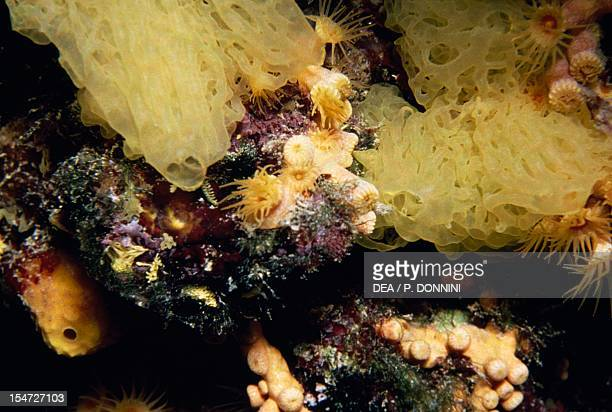 Yellow Clathrina Clathrinidae and Yellow Cluster Anemone Parazoanthidae Mediterranean Sea