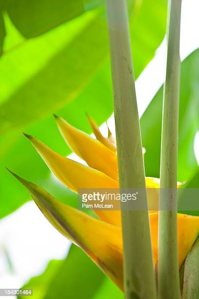 Yellow claw ginger flower