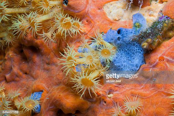 Yellow Cluster Anemone on red Sponge Parazoanthus axinellae Tamariu Costa Brava Mediterranean Sea Spain