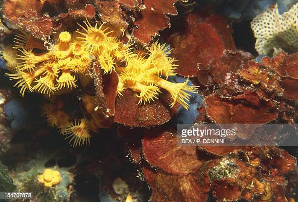 Yellow Cluster Anemone Parazoanthidae and Red algae