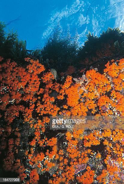 Yellow Cluster Anemone Parazoanthidae Montecristo Island Arcipelago Toscano National Park Italy