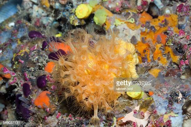 Yellow Cluster Anemones Parazoanthus axinellae La Vaca Medes Islands Costa Brava Mediterranean Sea Spain