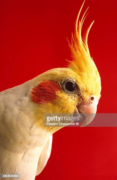 yellow cockatiel - cockatiel stock pictures, royalty-free photos & images