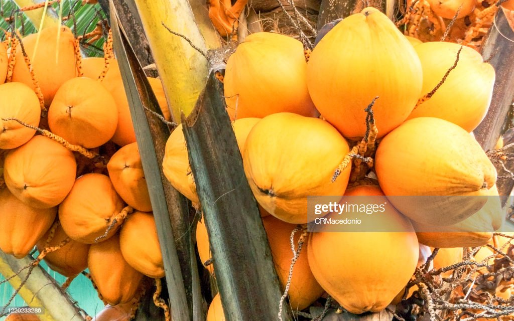 Yellow coconut. Coconut water is refreshing and delicious, it matches the beach. : Stock Photo