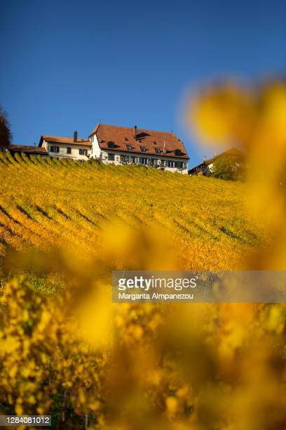 yellow color vineyards behind out of focus yellow leaves - ヴォー州 ストックフォトと画像
