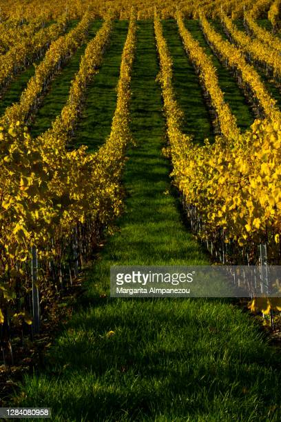 yellow color vineyards on green grass - ヴォー州 ストックフォトと画像