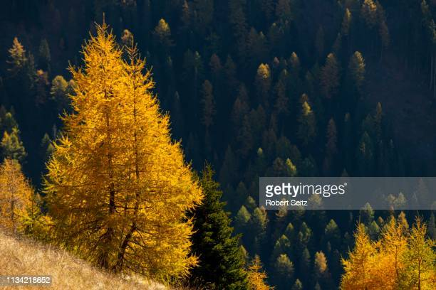 yellow colored larches (larix decidua) in autumn in front of wooded hillside, valstal, south tyrol, italy - european larch stock pictures, royalty-free photos & images