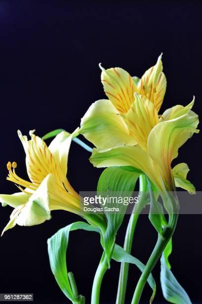 yellow colored lily of the incas (alstroemeria aurea) - bouquet de muguet fotografías e imágenes de stock
