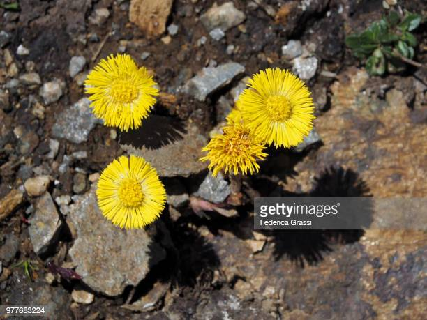 yellow coltsfoot (tussilago farfara) - coltsfoot stock photos and pictures
