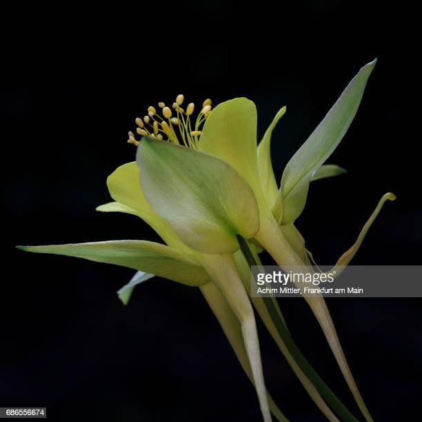 yellow columbine on black - columbine flower stock pictures, royalty-free photos & images