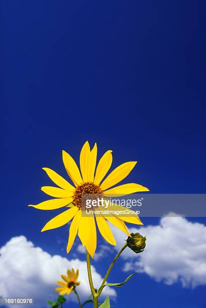 A yellow Common Sunflower stands out against the deep blue Arizona sky White puffy clouds Flagstaff Arizona
