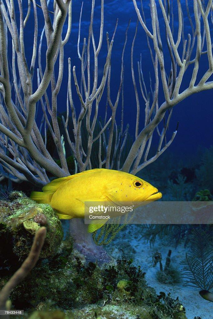 Yellow coney fish near reefs for protection , Florida : Stockfoto