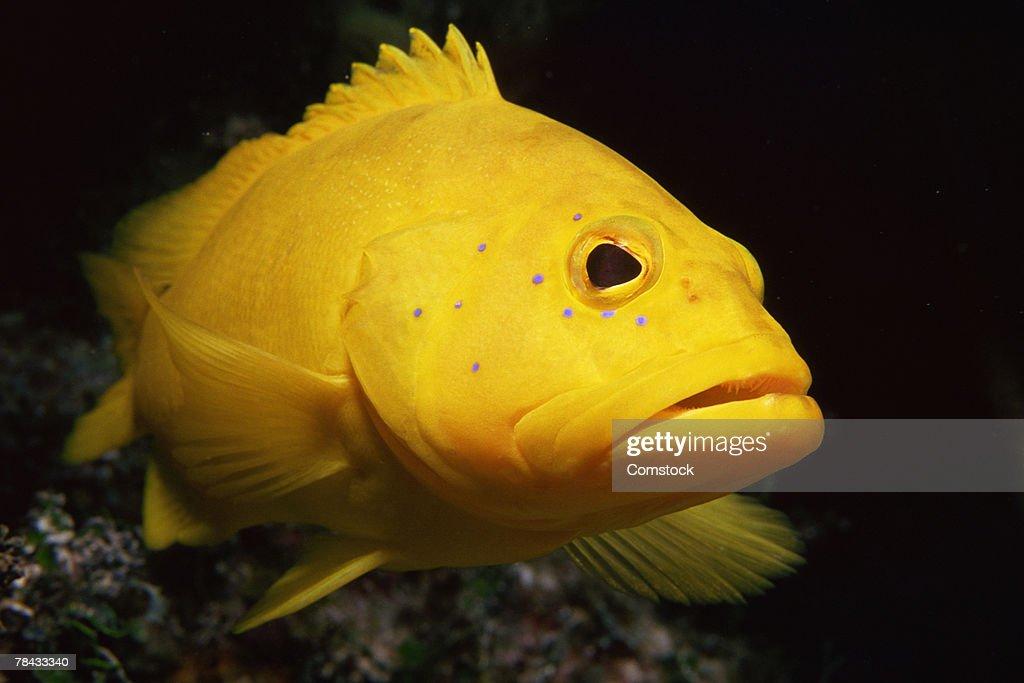 Yellow coney fish : Stockfoto