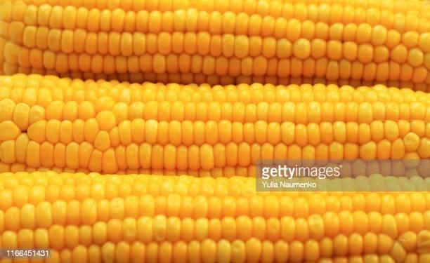 yellow corns as background. corn vegetable pattern. background of bulk of yellow corn grains. shiny corns. sweet corn ears background - image - 野菜 とうもろこし ストックフォトと画像