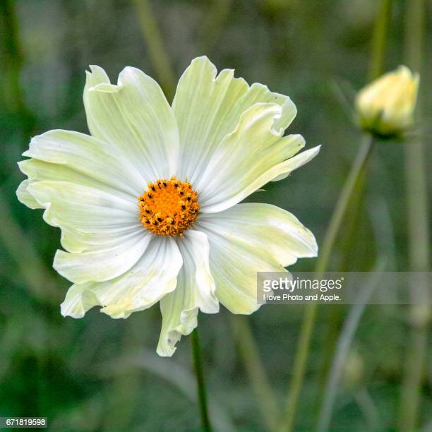 yellow cosmos close up - 風 stockfoto's en -beelden