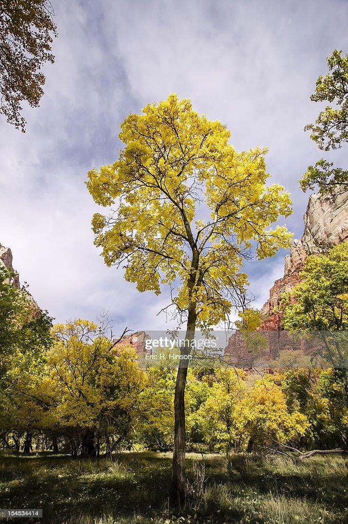 Yellow cottonwoods, Zion National Park : Stock Photo