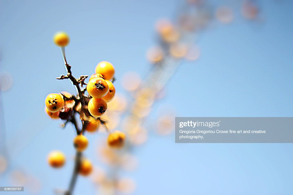 Yellow crab apple fruit : Stock Photo
