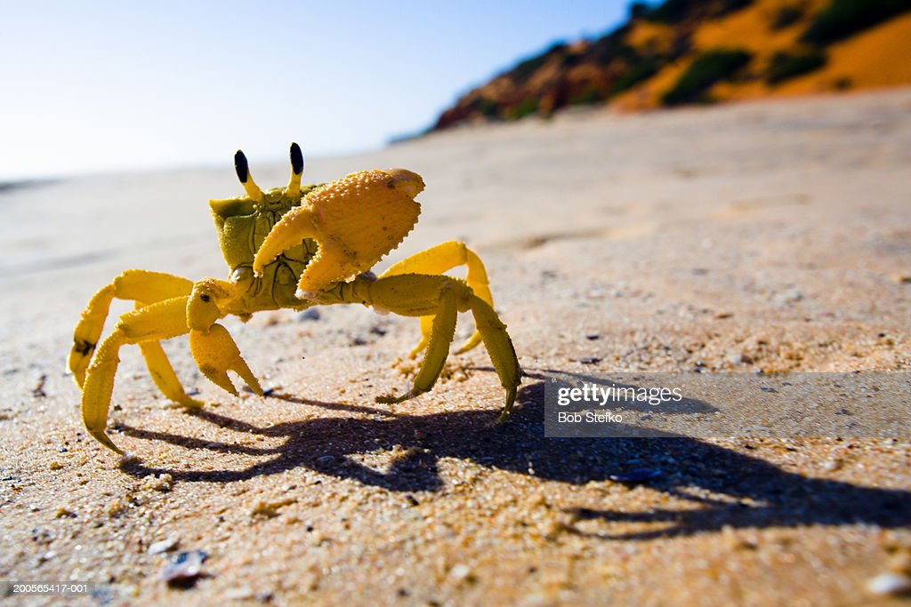 Yellow crab moving on sand : Stock Photo