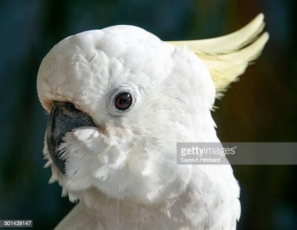 Yellow Creseted Cockatoo