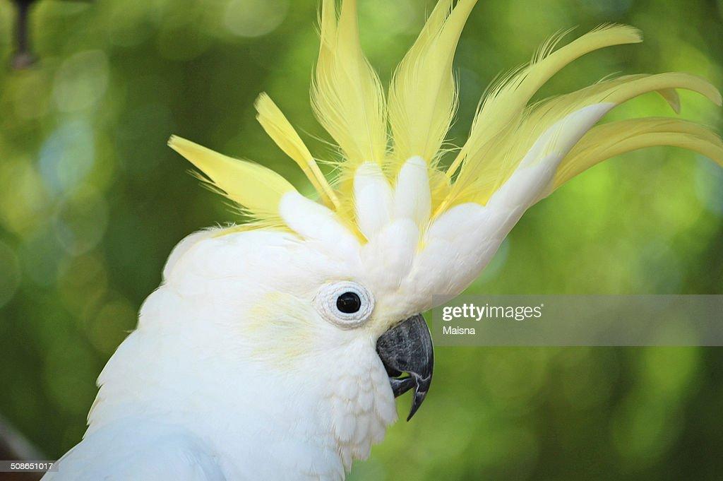 Yellow Crested Cockatoo : Stock Photo