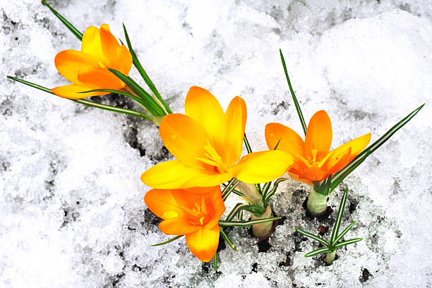 Free flowers snow yellow images pictures and royalty free stock yellow crocus flowers in the snow mightylinksfo