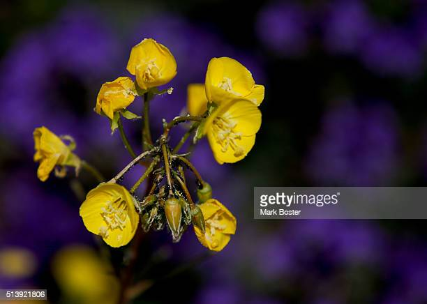 Yellow Cups decorate the desert during a rare 'super bloom' of wildflowers in Death Valley National Park March 4 2016 The hottest driest lowest place...