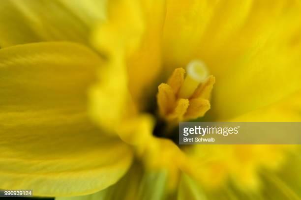 Yellow Daffodil No.1