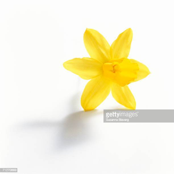 a yellow daffodil on a white background, close-up. - daffodils stock photos and pictures