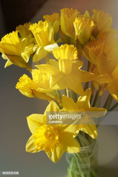 yellow daffodil - narcissus mythological character stock photos and pictures