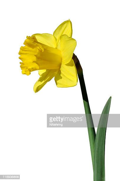 yellow daffodil with clipping path