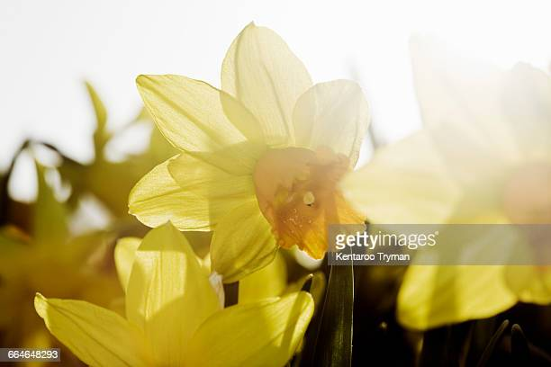 Yellow daffodils blooming during sunny day