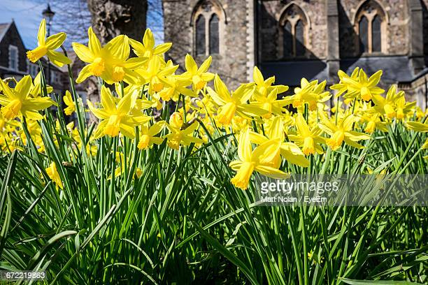 yellow daffodils blooming in garden - daffodils stock photos and pictures