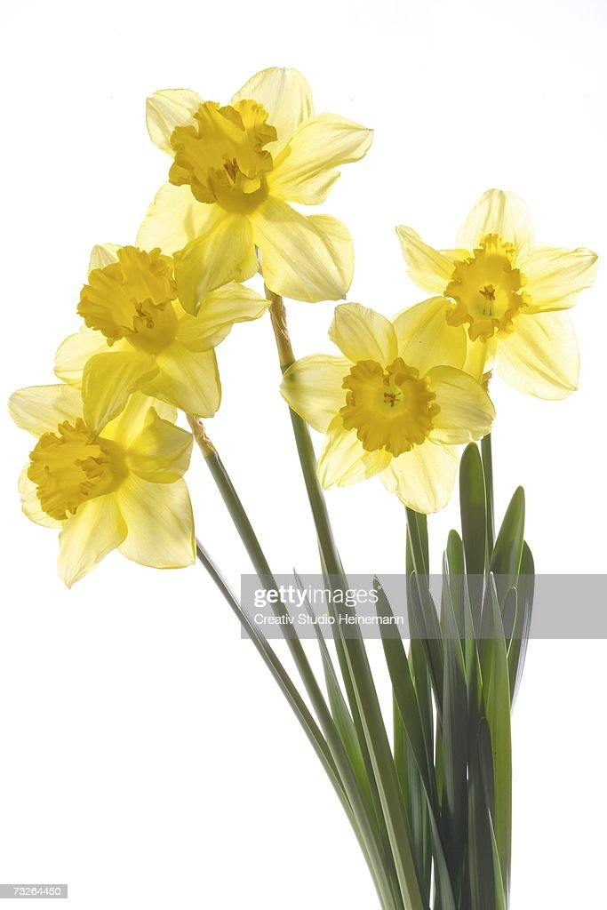 Yellow daffodils (Narcissus pseudonarcissus), close-up : Stock Photo
