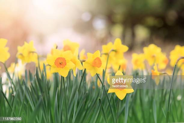 yellow daffodils flower bed. - daffodil stock pictures, royalty-free photos & images