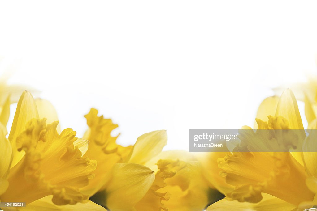 yellow daffodils over white : Stock Photo