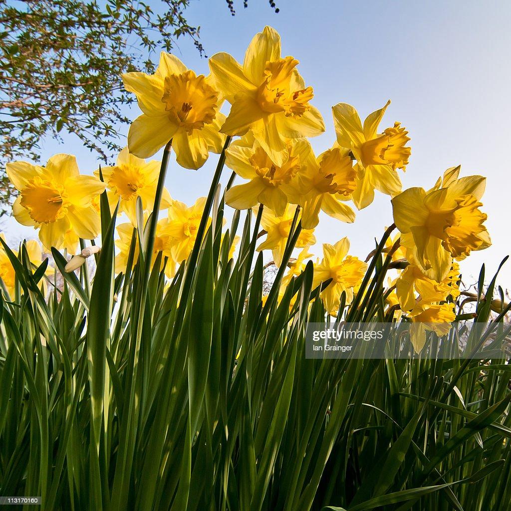 Yellow daffodils : Stock Photo