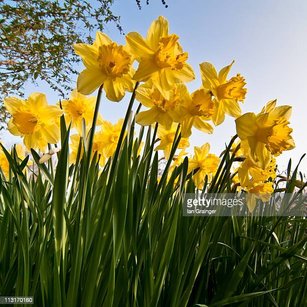 yellow daffodils - ian grainger stock pictures, royalty-free photos & images