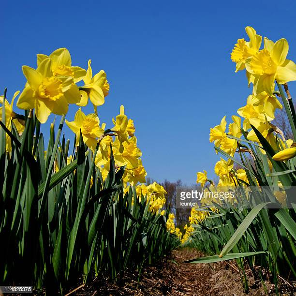 yellow daffodils - field of daffodils stock pictures, royalty-free photos & images