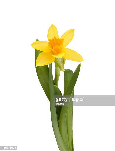 yellow daffodils - daffodils stock photos and pictures