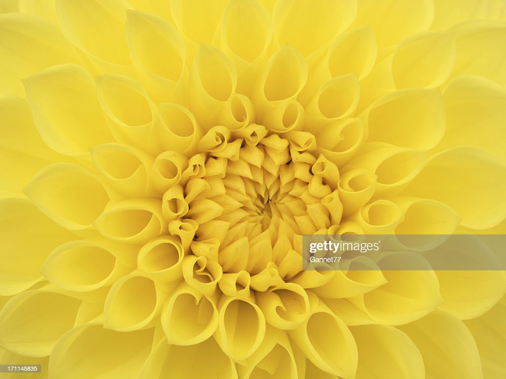 Yellow dahlia flower close up stock photo getty images yellow dahlia flower close up stock photo izmirmasajfo