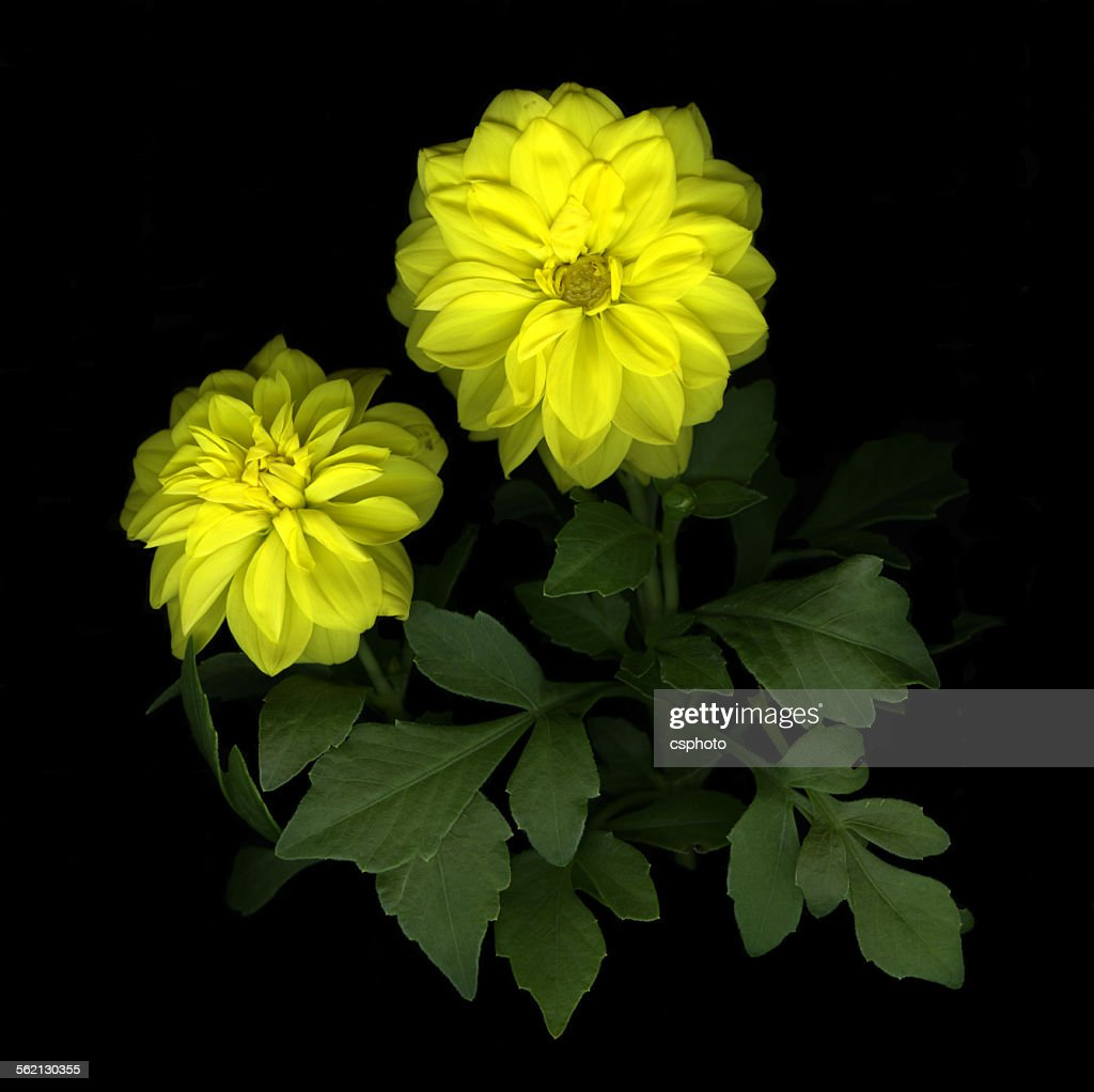 Yellow dahlia flower isolated stock photo getty images yellow dahlia flower isolated stock photo izmirmasajfo