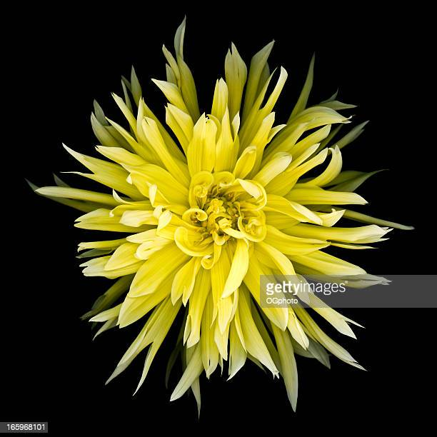 yellow dahlia isolated on black. - ogphoto stock pictures, royalty-free photos & images